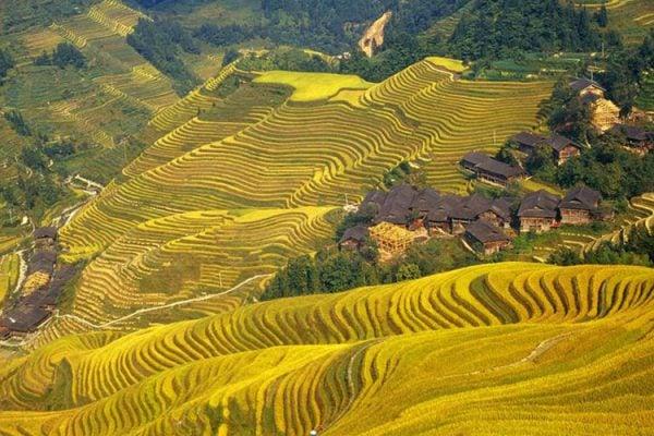 Ruộng bậc thang Longji Terraces - Quế Lâm khi mùa lúa sắp thu hoạch đẹp như 1 bức tranh tươi sáng diệu kì (ảnh st)