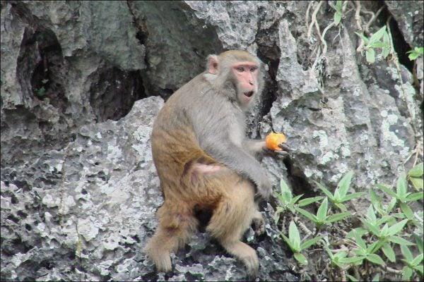 Chú khỉ ở núi Vũ Lăng Nguyên (ảnh st)