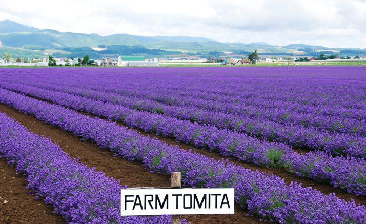 Mùa hè hoa oải hương ở Nhật nở đẹp đến mê say lòng người (ảnh st)