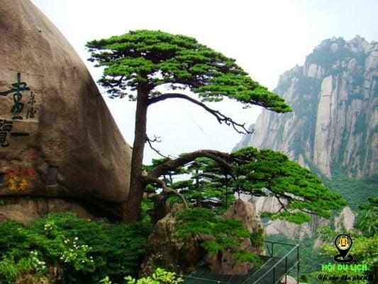 Cây thông trên núi Ngọc Nữ ở dãy Hoàng Sơn- ảnh sưu tầm