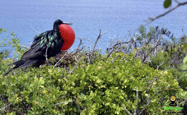 Chú chim chiến-còn được gọi là chim Frê-gat trên quần đảo Galapagos