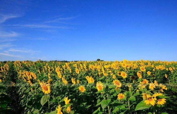 Cánh đồng hoa hướng dương ở Đà Lạt- ảnh sưu tầm