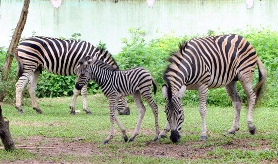Những chú ngựa vằn trong khu vườn thú Đại Nam- ảnh sưu tầm