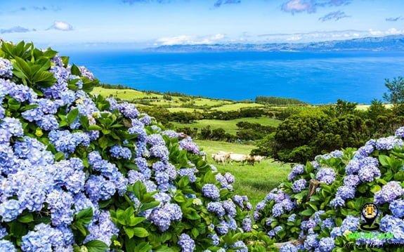 Hoa cẩm tú cầu ở đảo Faial trên quần đảo Azores của Bồ Đào Nha-ảnh sưu tầm