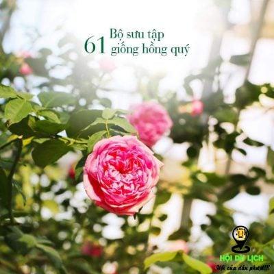 Hoa hồng ở đồi vạn hoa- ảnh sưu tầm
