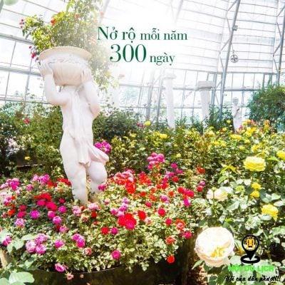 Hoa hồng nở rộ ở đồi vạn hoa- ảnh sưu tầm
