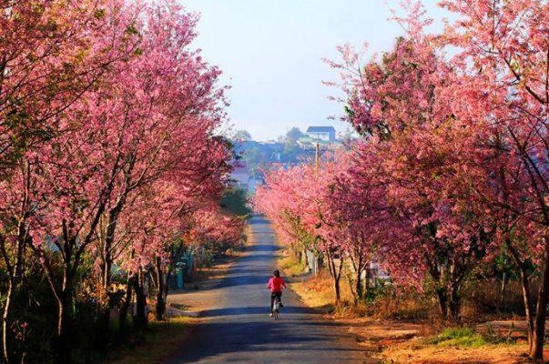 Hoa mai anh đào ở Đà Lạt trong mùa xuân - ảnh sưu tầm