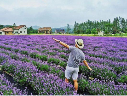 Cánh đồng hoa oải hương đẹp lãng mạn ở Đà Lạt- ảnh sưu tầm
