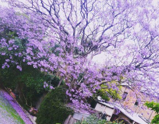 Hoa phượng tím đẹp say mê ở Đà Lạt - ảnh sưu tầm