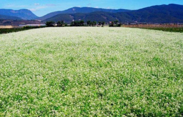Cánh đồng hoa cải trắng ở Đà Lạt- ảnh sưu tầm