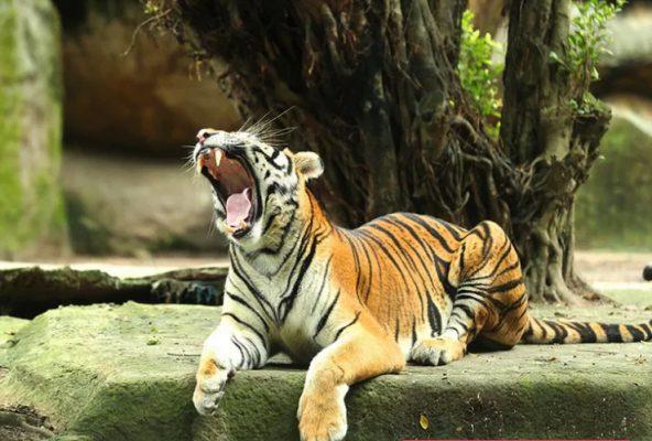 Chú hổ trong vườn thú Đại Nam- ảnh sưu tầm