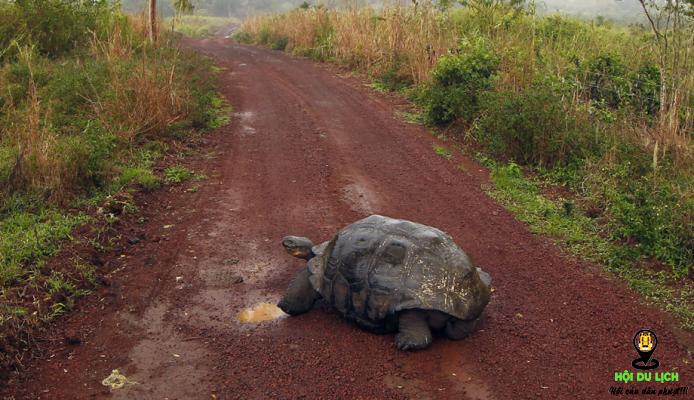 Một chú rùa biển đang đi ngang qua con đường trên đảo- ảnh sưu tầm