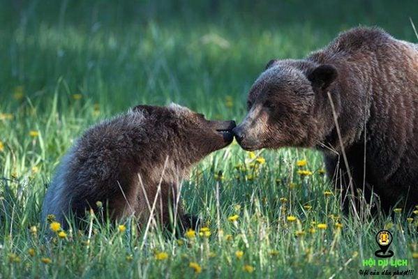 Những chú gấu ở công viên quốc gia Banff của Canada- ảnh sưu tầm