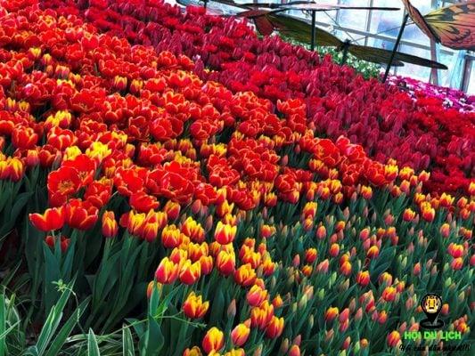 Vườn hoa tuy lip đẹp tuyệt ở đồi vạn hoa- ảnh sưu tầm