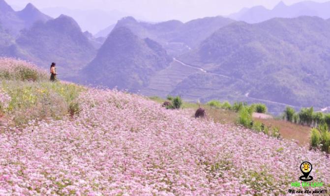 Về Hà Giang ngắm hoa tam giác mạch- ảnh sưu tầm