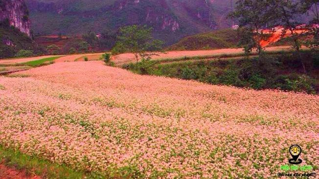 cánh đồng hoa tam giác mạch bạt ngàn
