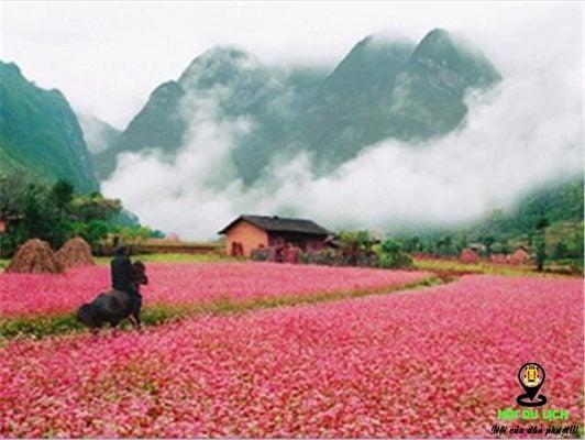 Nơi trồng hoa tam giác mạch tuyệt đẹp