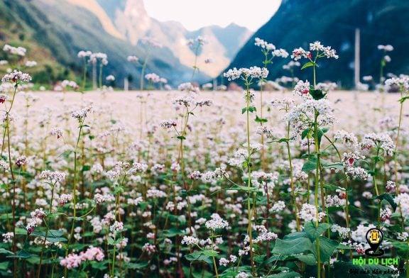 Đẹp ngỡ ngàng với mùa hoa tam giác mạch ở Hà Giang