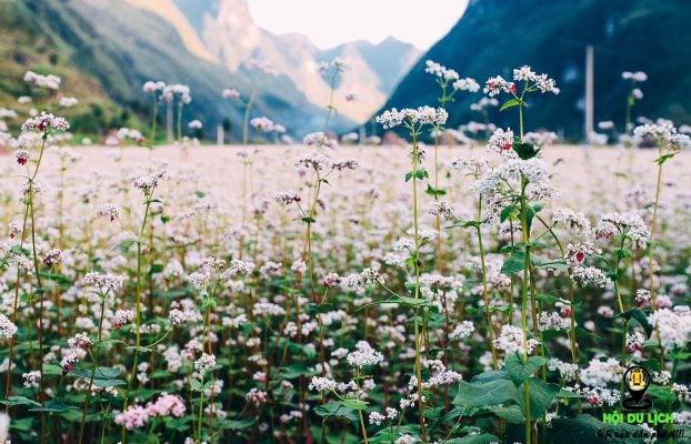 Hoa tam giác mạch ở Lũng Táo