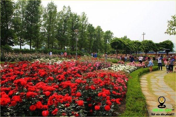 Vườn hoa hồng rực rỡ tại thung lũng Mường Hoa