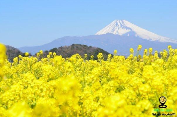 Sắc vàng rực tỡ mùa hoa cải vàng Nhật Bản