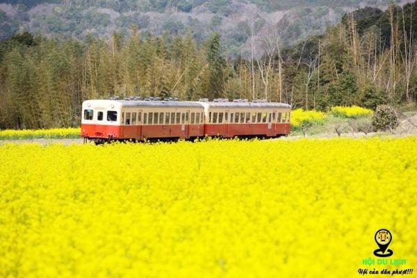 Mùa hoa cải vàng Nhật Bản - nhuộm vàng đất nước