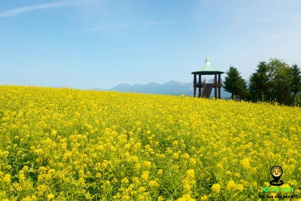 Ghé thăm cánh đồng hoa cải vàng nhật bản