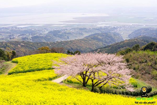 Mùa cải vàng Nhật Bản nở rộ