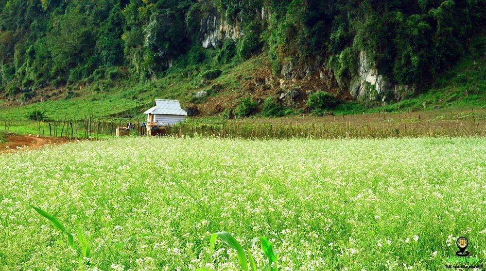 Tháng 11-12 là thời điểm tuyệt vời ghé thăm mùa hoa cái trắng