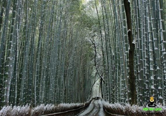 Khu rừng trúc vào mùa đông tuyết phủ trắng (ảnh sưu tầm)