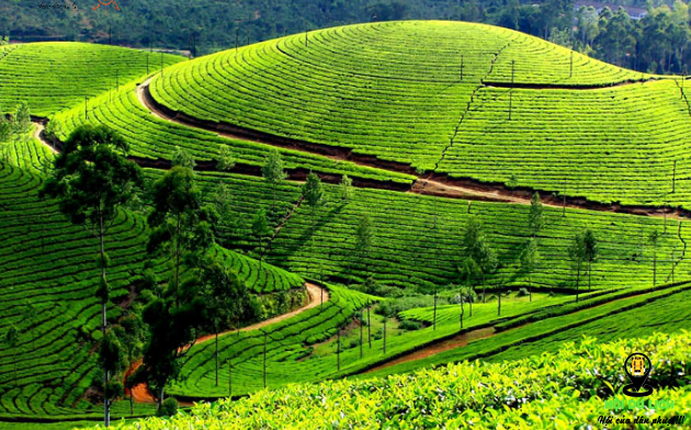 Những đồi chè ở Nuwara Eliya- ảnh sưu tầm