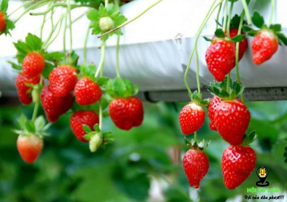 Những trái dâu tây chín đỏ thậ ngon ở trang trại Nuwara Eliya- ảnh sưu tầm