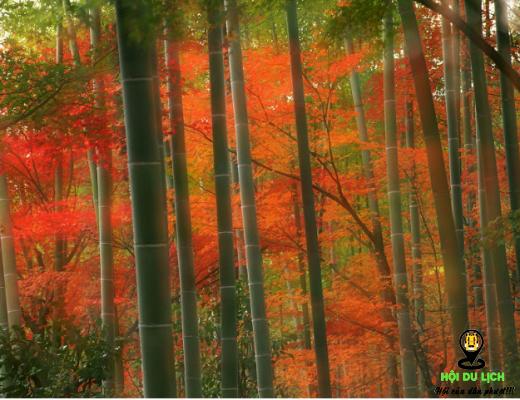 Rừng trúc trong mùa thu đẹp mê mẩn (ảnh sưu tầm)