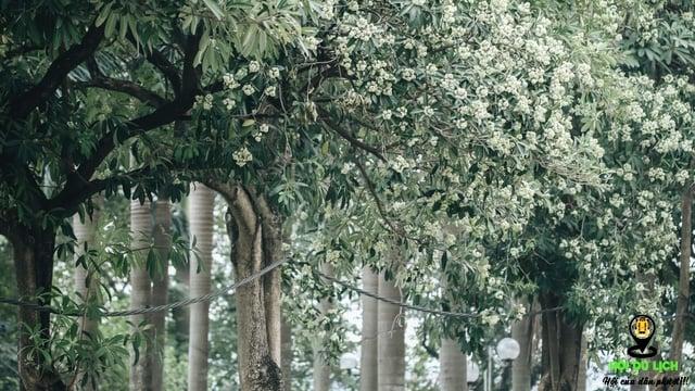 Cúc họa mi mùa thu Hà Nội