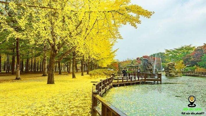 Đảo Nami nhuộm sắc vàng của lá cây
