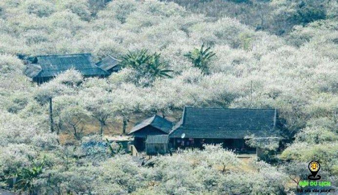 Vẻ đẹp khó quên của mùa hoa ban Tây Bắc