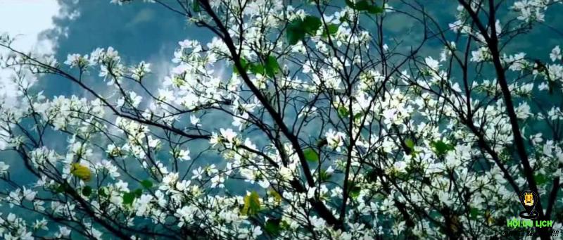 hoa ban Tây Bắc bắt đầu nở khi các cơn mưa xuân