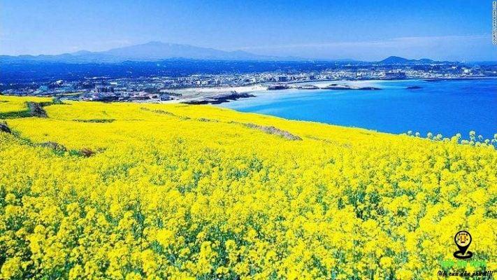 Cánh đồng hoa cải ở Jeju