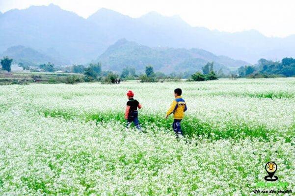Cảnh quang thơ mộng hoa cải trắng Mộc Châu