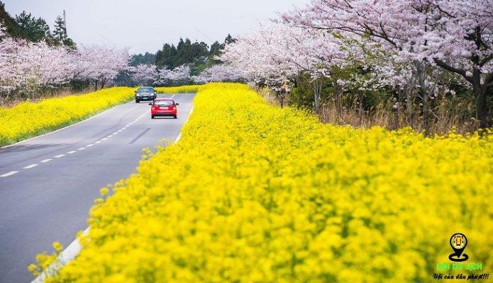 Con đường hoa cải vàng