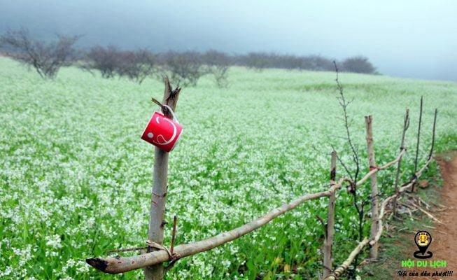 Đi ngắm nhìn cánh đồng hoa cải trắng