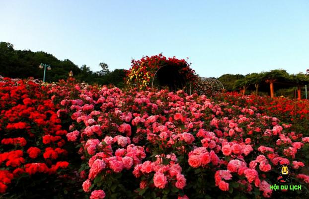 Lạc vào thế giới hoa hồng ở Sapa