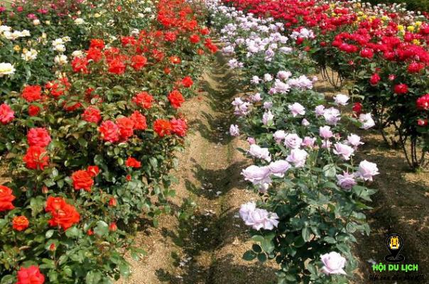Ngập tràn sắc hoa hồng ở Sapa