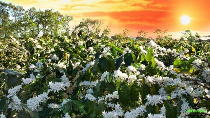 Hoa cafe nở trắng một góc trời Tây Nguyên
