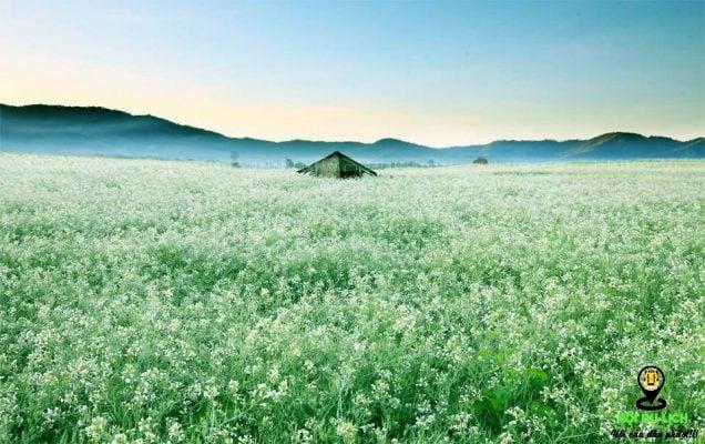 Địa điểm sống ảo với hoa cải trắng tại Đà Lạt