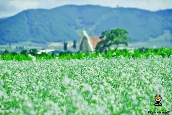 Vườn hoa cải trắng Đà Lạt