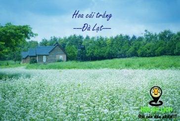 Mách bạn địa điểm sống ảo với hoa cải trắng tại Đà Lạt