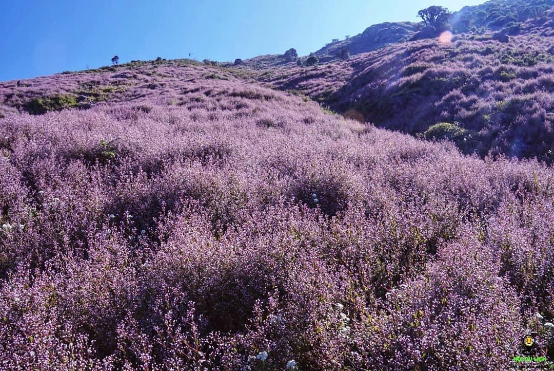 Ngắm đồi hoa tím trên đỉnh Tà Chì Nhù