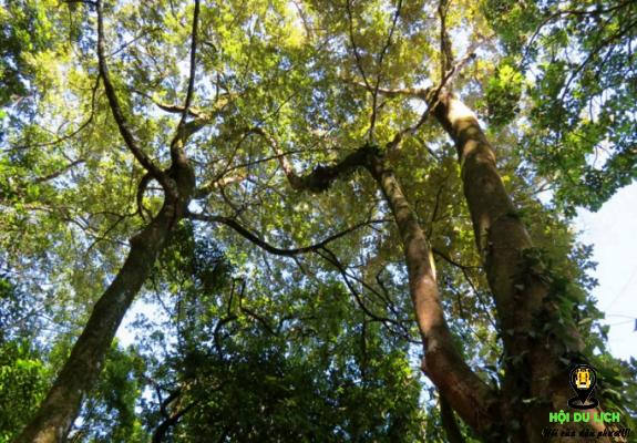 Cây cổ thụ ở vườn quốc gia Ba Vì (ảnh sưu tầm)