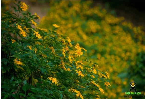 Hoa dã quỳ rực rỡ ở vườn quốc gia Ba Vì (ảnh sưu tầm)